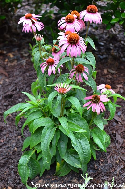 Create A Small Sun Loving Perennial Garden Perennial Garden Pollinator Garden Purple Flowering Plants