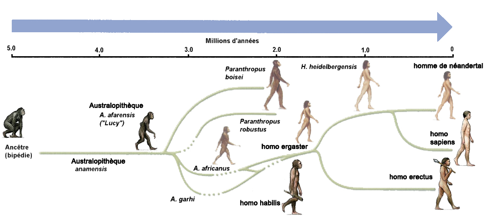 La Lignee De L Evolution Humaine Ce2 Evolution Humaine Les Premiers Hommes Prehistoire
