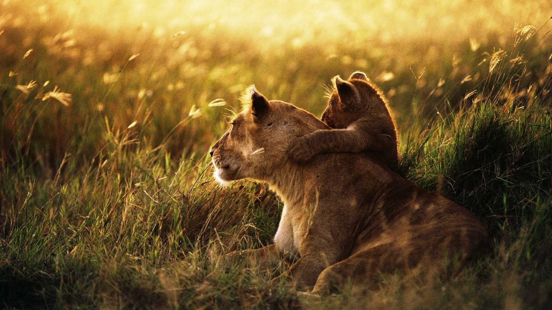 Lioness With Lion Cub Wallpaper Cats My Tiny Love S 3 Pinterest