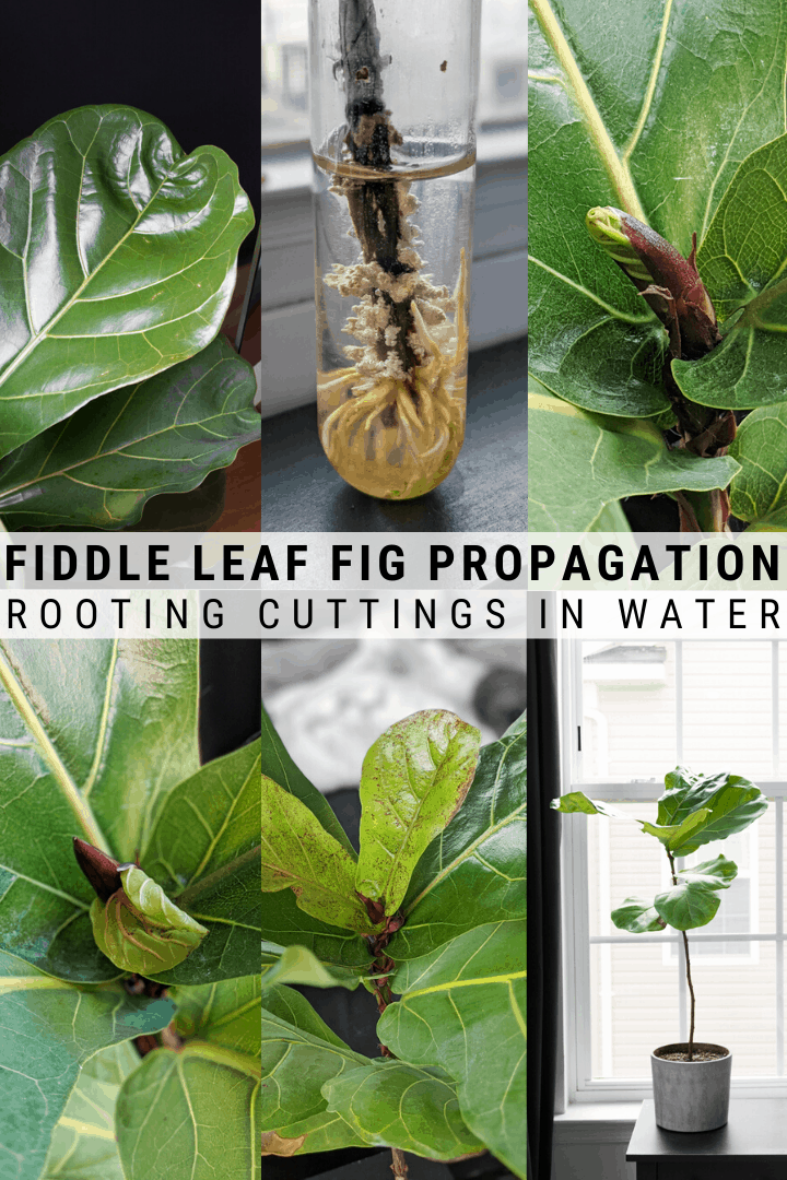 How To Propagate Your Fiddle Leaf Fig Tree Fiddle Leaf Fig Tree Fig Leaf Tree Fiddle Fig Tree