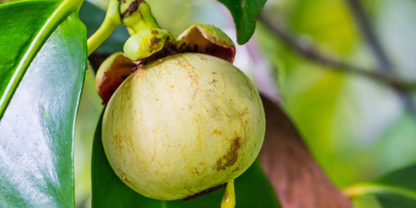 MANGOSTEEN Learn about the natural ingredients that are in L'anza products. Rather than harsh environmentally toxic chemicals in other products. #sahair, #sahairboutique, #sahairsalon #L'anza