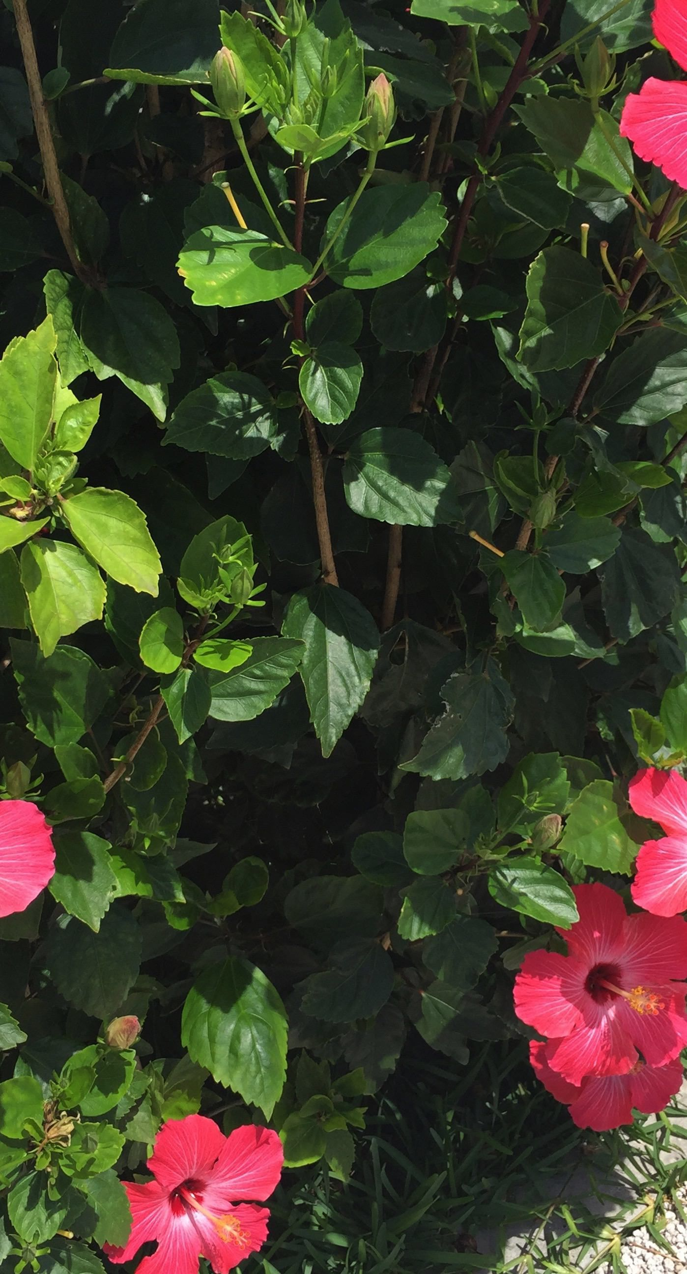 Tanaman Bunga Kembang Sepatu Hijau Merah Wallpaper Sc Iphone8plus Kembang Sepatu Bunga Kembang Sepatu Bunga