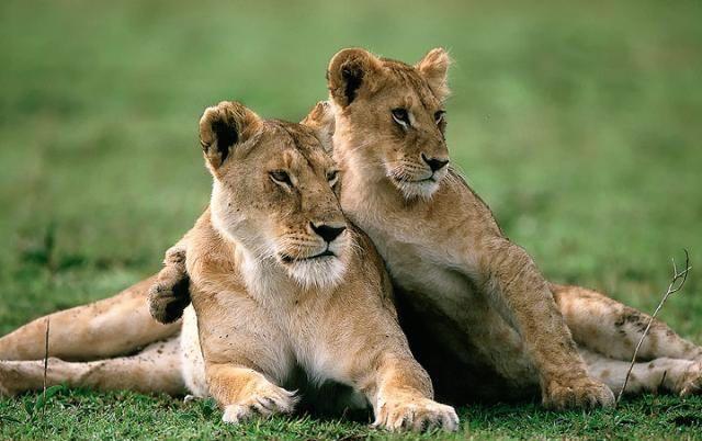 63 Best Lions images   Masai mara kenya, Big cats, Masai mara