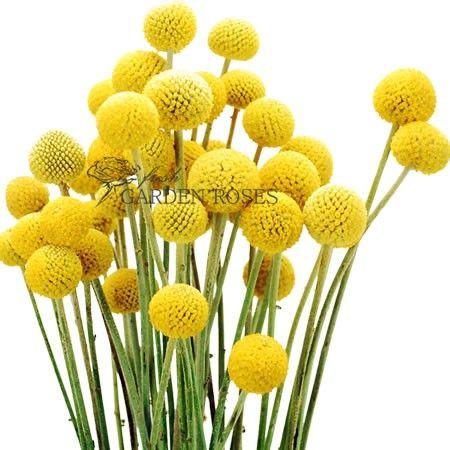 Yellow Craspedia Billy Balls Bulk Billy Button Flowers Wholesale Flowers Billy Buttons Seasonal Flowers