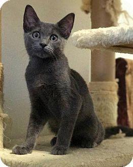 Russian Blue Cat For Adoption In Mission Viejo California Finn