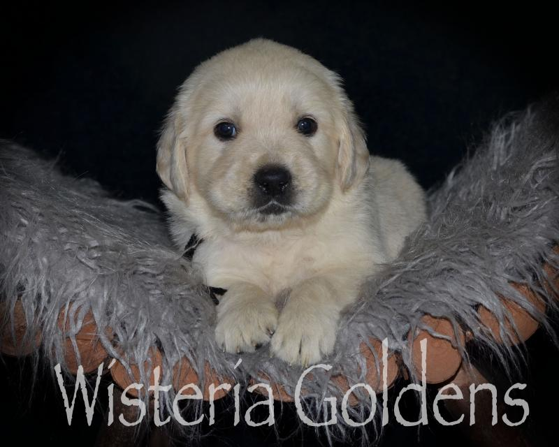 Previous Puppies Harper Litter Born 05 01 2020 Wisteria Goldens English Golden Puppies In 2020 Golden Puppies Puppies Puppy Litter