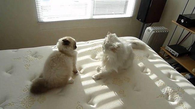 Ragdoll Cat Size Comparison Pets Photos