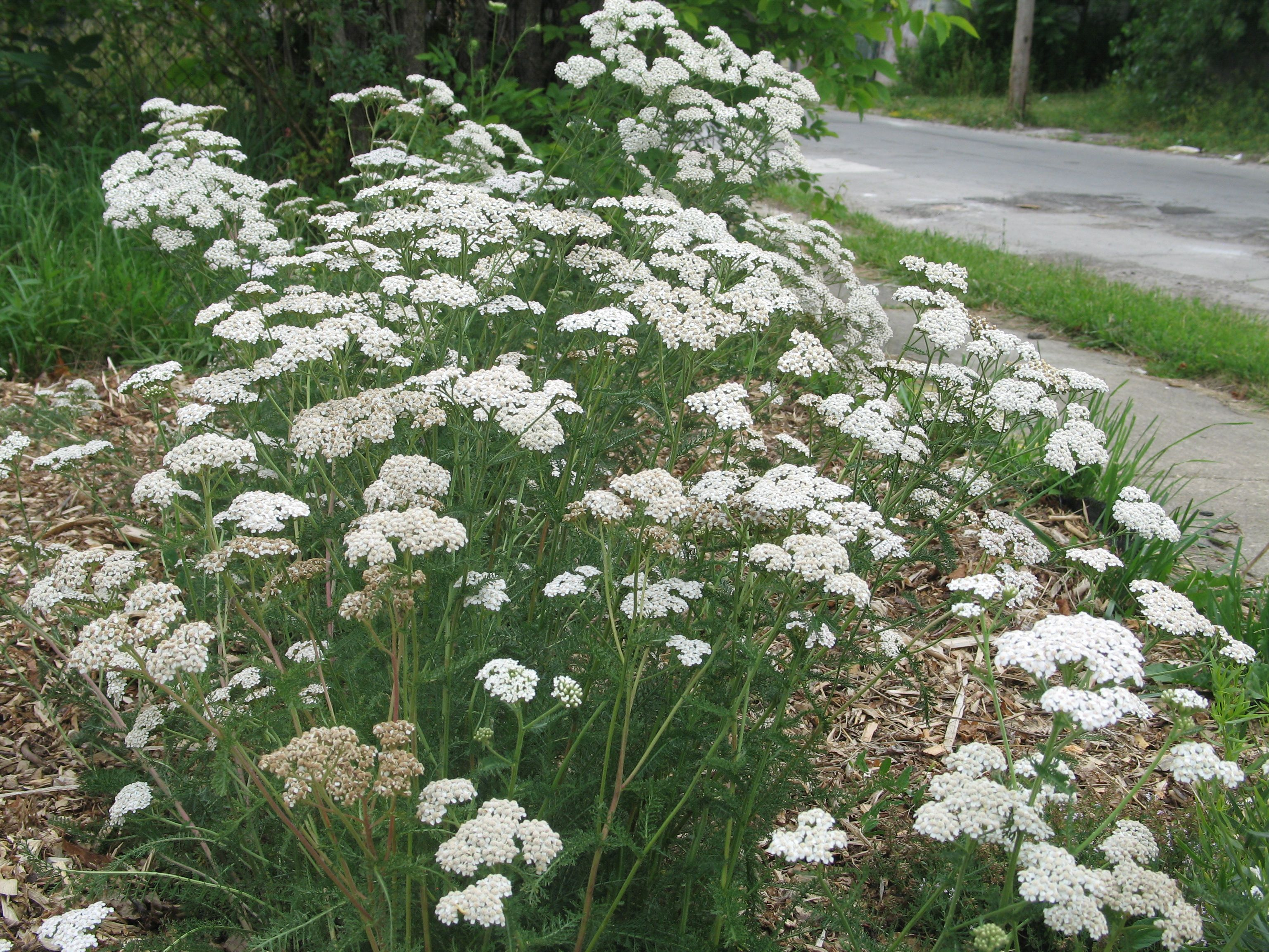 Elderberry Blossoms White Yarrow And Transmissionless Mowing Yarrow Plant Perennial Plants Yarrow Flower