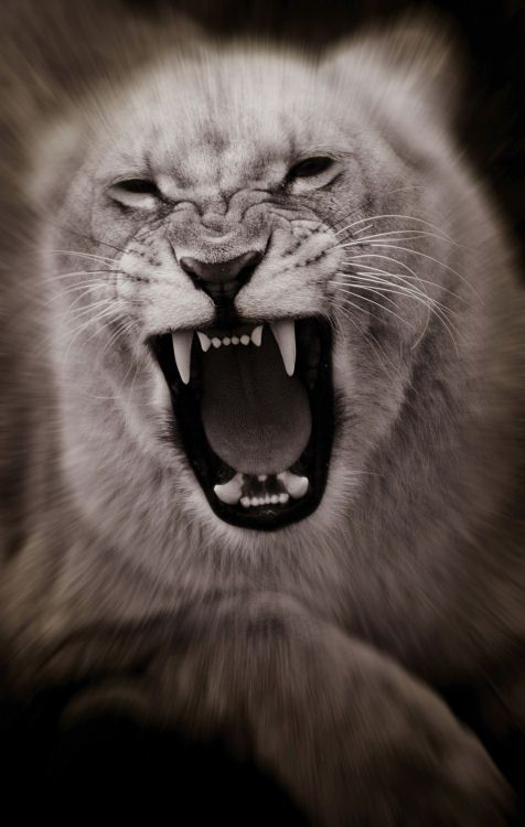 photo of lioness roaring