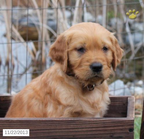 Golden Retriever Puppy for Sale Lancaster puppies