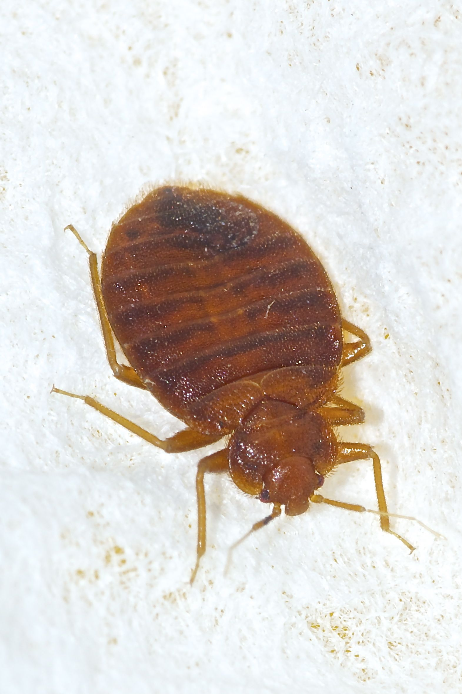 Here you can see bedbugs at different life stages in