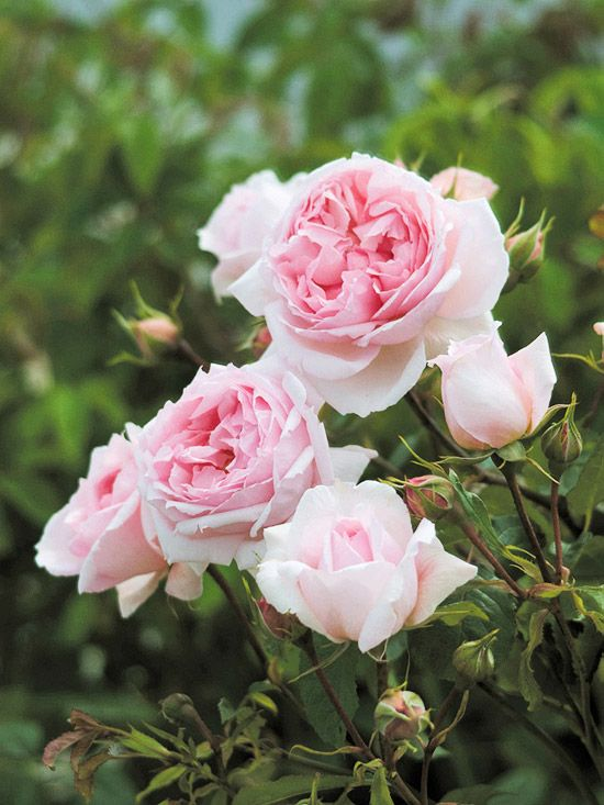 The Wedgewood Rose     One of the most disease-resistant English roses to date, The Wedgewood rose is also among the more beautiful. It produces big, delightfully scented pink blooms that are great for cutting