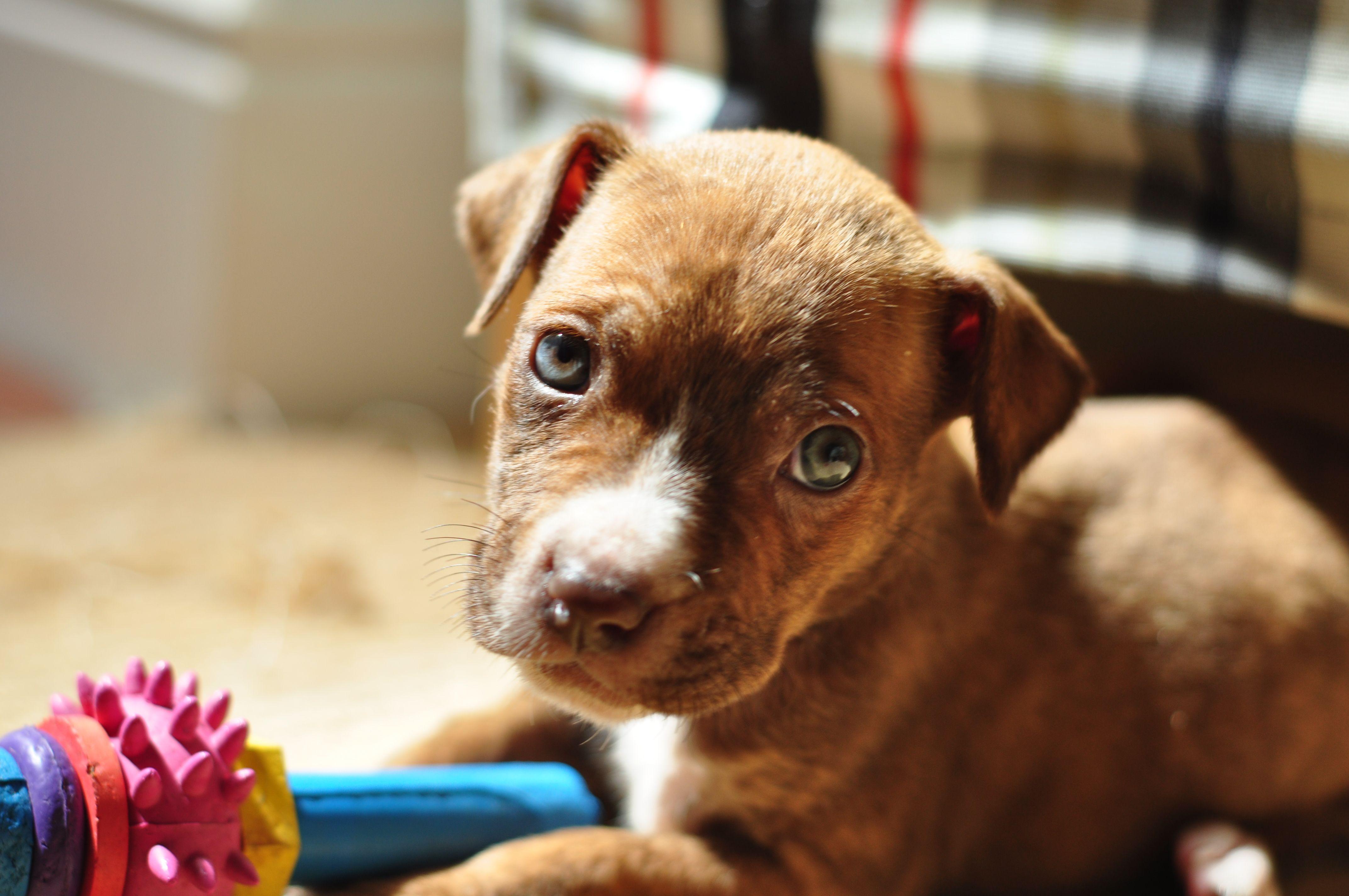 Pit Bull X Puppy Pitbullpuppies Puppies Pitbulls Pitbull Terrier Pit Bull Love
