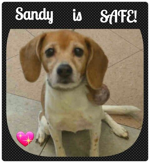 """SANDY IS SAFE. ..  . . 05/20/15. Thank you """"WAGGIN TRAIN RESCUE"""" For saving this Beautiful little Girl. And THANK YOU to Everyone who Cared and Shared for her.http://nycdogs.urgentpodr.org/sandy-a1036558/"""