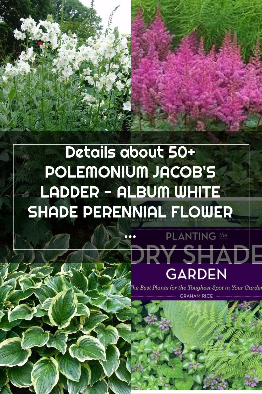 50 polemonium jacobs ladder album white shade