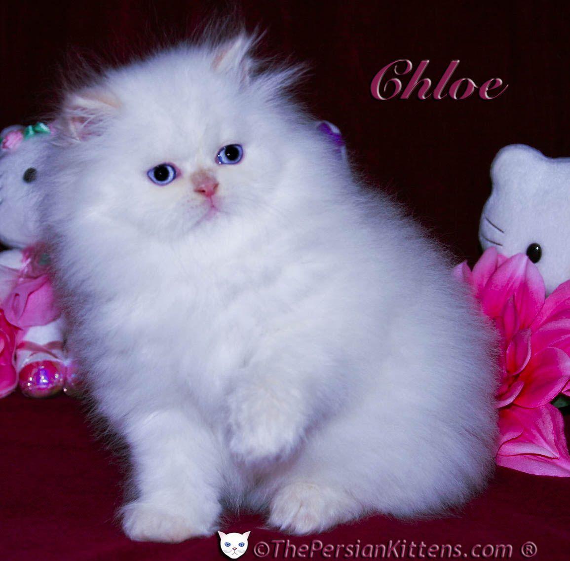 Chloe..Persian kitten♥ The Cat's Meow =^.^= Pinterest
