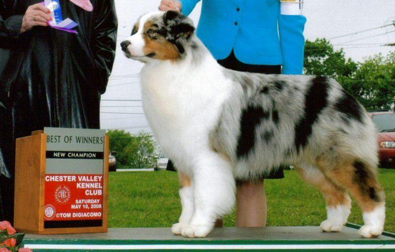 Legacy Australian Shepherds Breeder Of Top Quality Australian