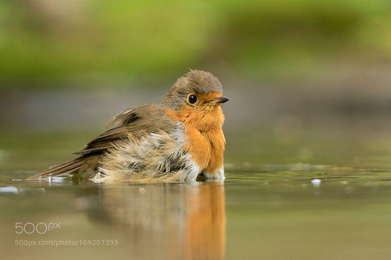 Robin by Geertje_Weustenenk #animals #animal #pet #pets #animales #animallovers #photooftheday #amazing #picoftheday