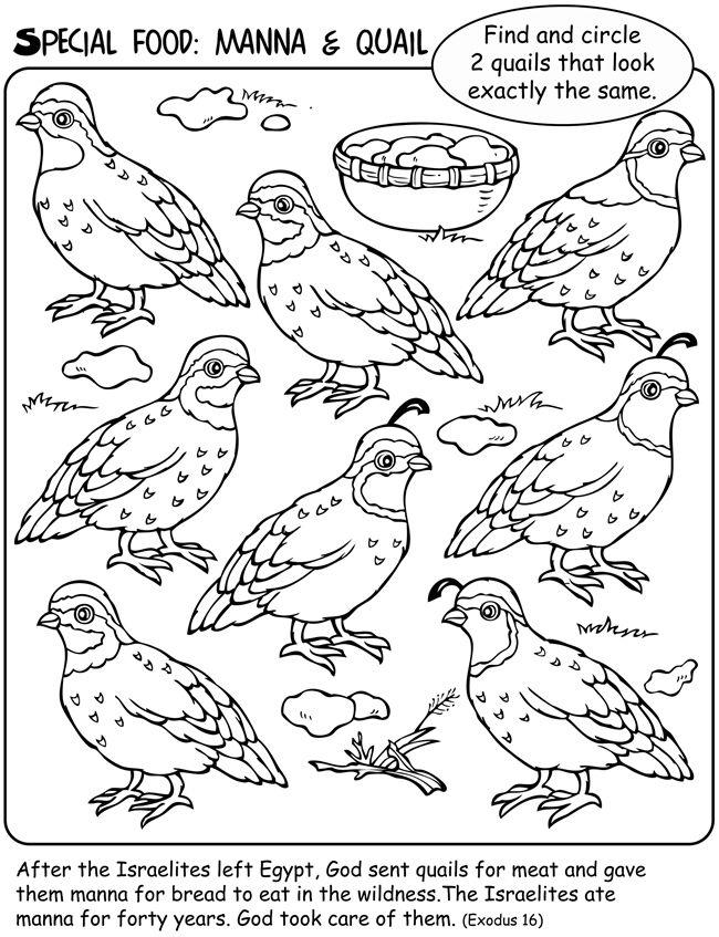 Manna Amp Quail Coloring Page Sundayschoolist