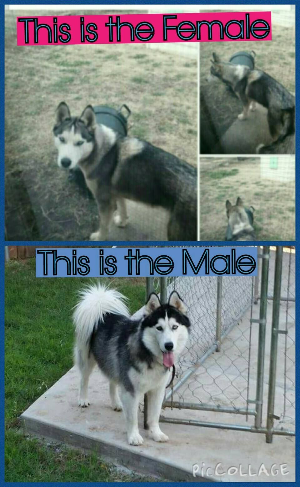 My 2 Huskys Are Missing In The Lubbock Texas Area They Been