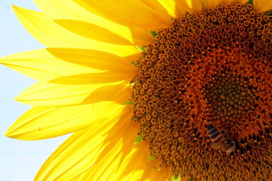 """sunflowers"" by Jose Esquivel, via 500px."