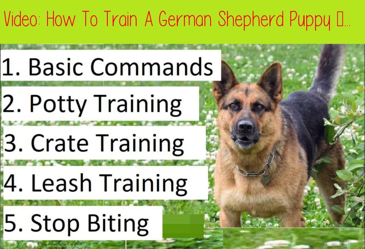 How To Train A German Shepherd Puppy A Detailed Video On Gs