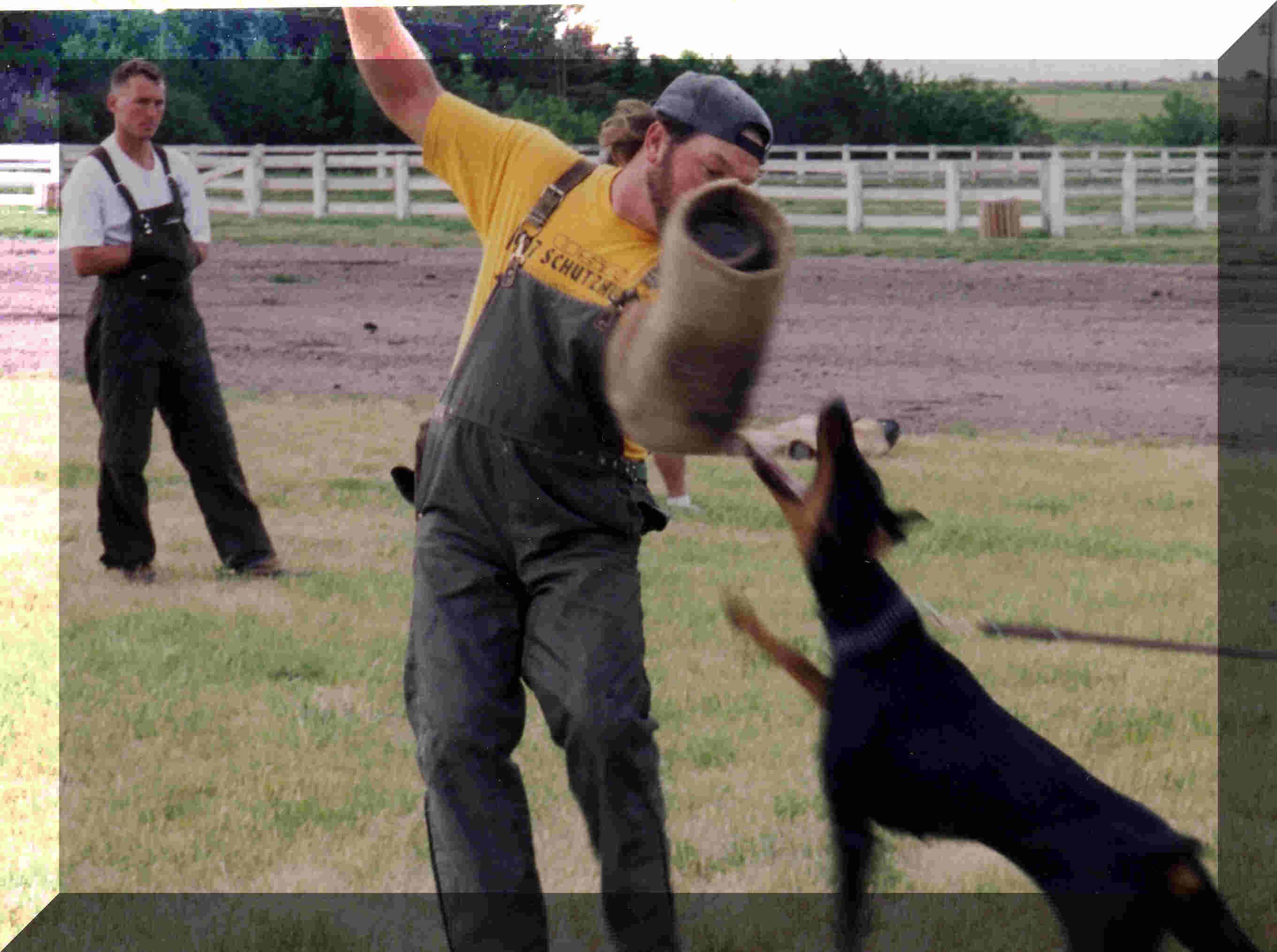 Doberman doberman schutzhund black and tan terrier
