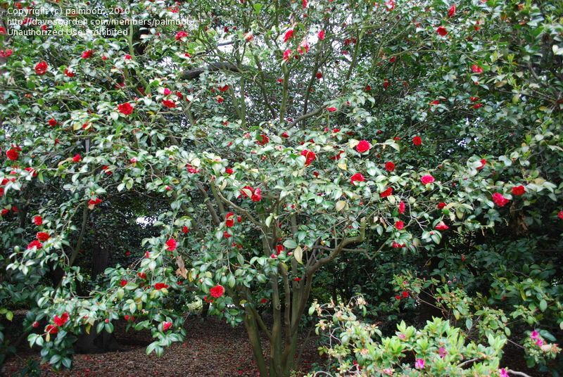 Full Size Picture Of Common Camellia Japanese Camellia Glen 40 Variegated I Camellia Japonica I Japonica Variegated House On A Hill