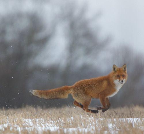 Flying Red Fox