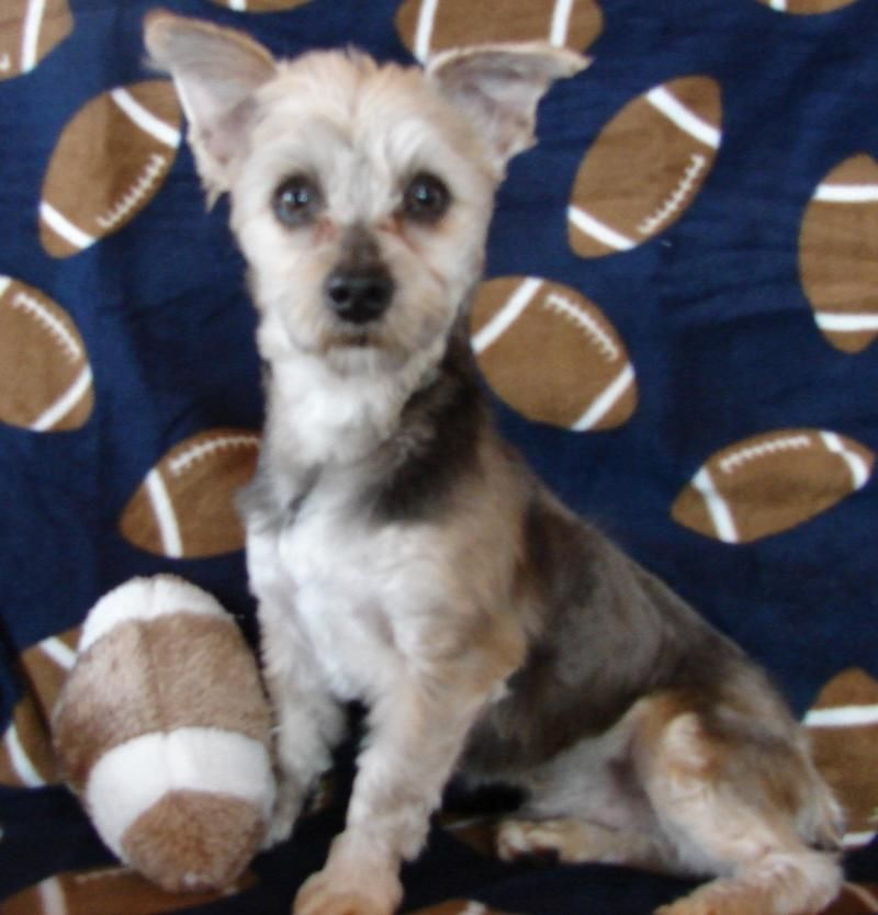 Hi My Name Is Denver I M A 1 Year Old Morkie Maltese Yorkie Mix