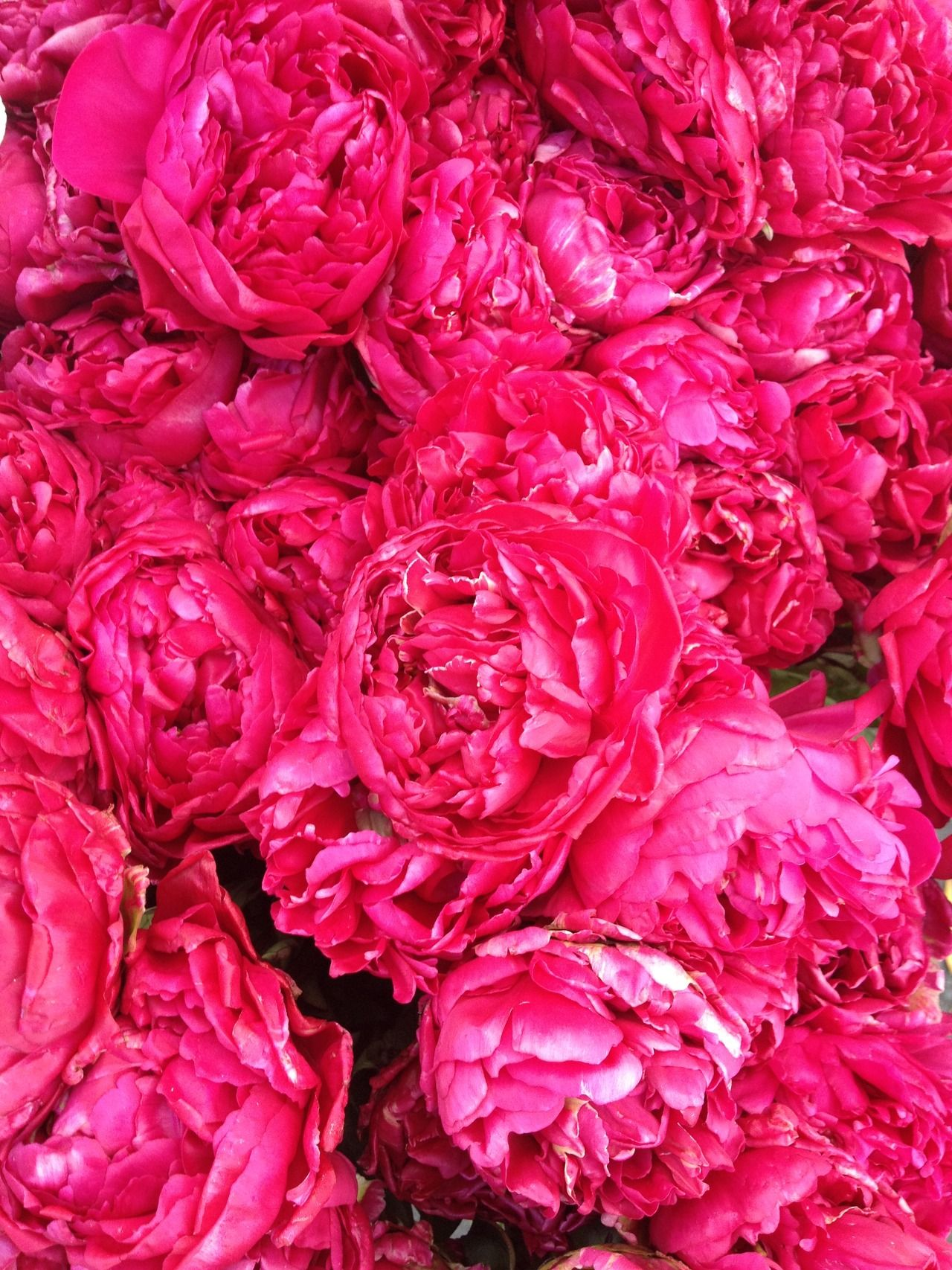 The Pink Peonies lush pink peonies!! oh so lovely + ten times better than roses