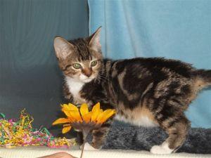Adopt Rocker Rocket On Brown Cat Tabby Brown Tabby Cat