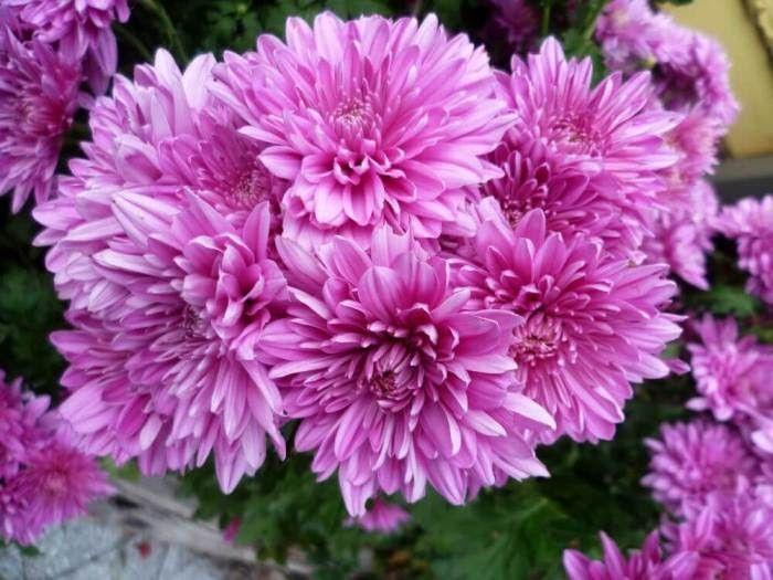 Paling Populer 25 Lukisan Bunga Kamboja Ungu 75 Koleksi Gambar Bunga Bentuk Tanaman Terindah Tercantik Lukisan Bunga Kamboj Gambar Bunga Bunga Bunga Teratai