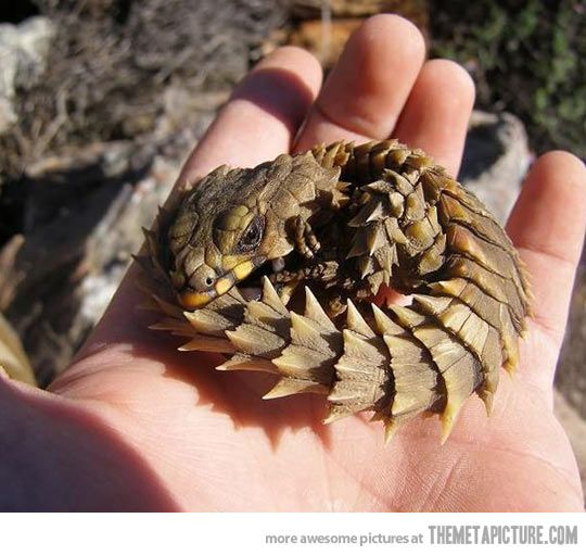 Armadillo Lizard Also Know As Baby Dragon…