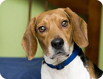 Bowie Md Beagle Mix Meet Peter A Dog For Adoption Dog Adoption Pet Adoption Adoption