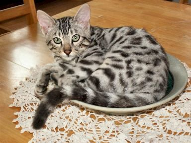 Pin By Carol Anderson On Cats Bengal Cat Silver Bengal Cat Gorgeous Cats