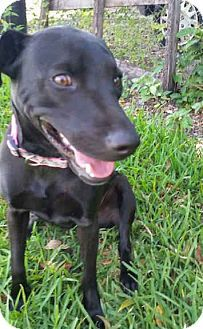 Labrador Retriever Whippet Mix Puppy For Adoption In Miami Florida Tequila Rottweiler Puppies Pets Labrador Puppy Training