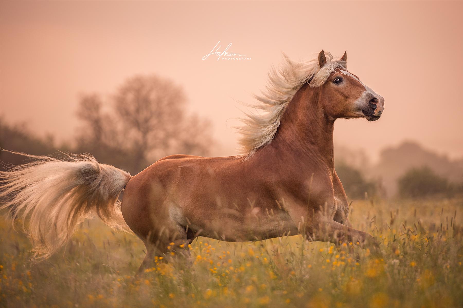 Haflinger Wallach Galoppiert Im Sonnenaufgang Uber Die Wiese Pferd Bilder Foto Fotografie Fotoshooting Pferde Bilder Pferde Fotografie Schone Pferde