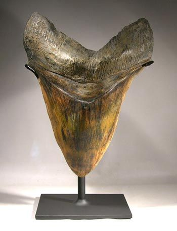 giant megalodon shark tooth custom display stand front stands in