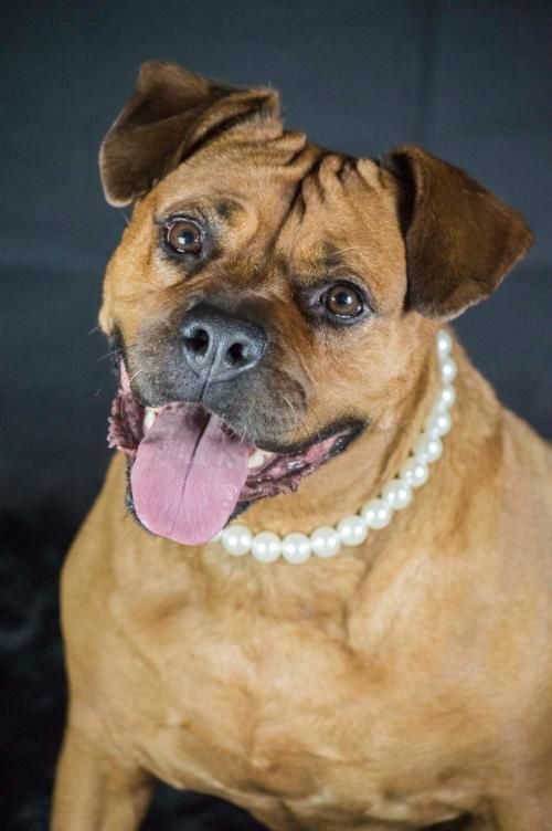 Adopt Sunny on Boxer rescue, Dogs, Boxer