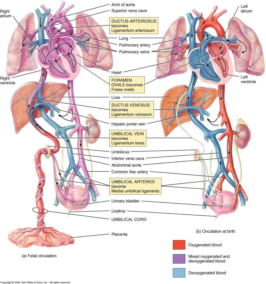 Fetal and Post-Natal/Adult Circulation in Juxtaposition | Nurse ...