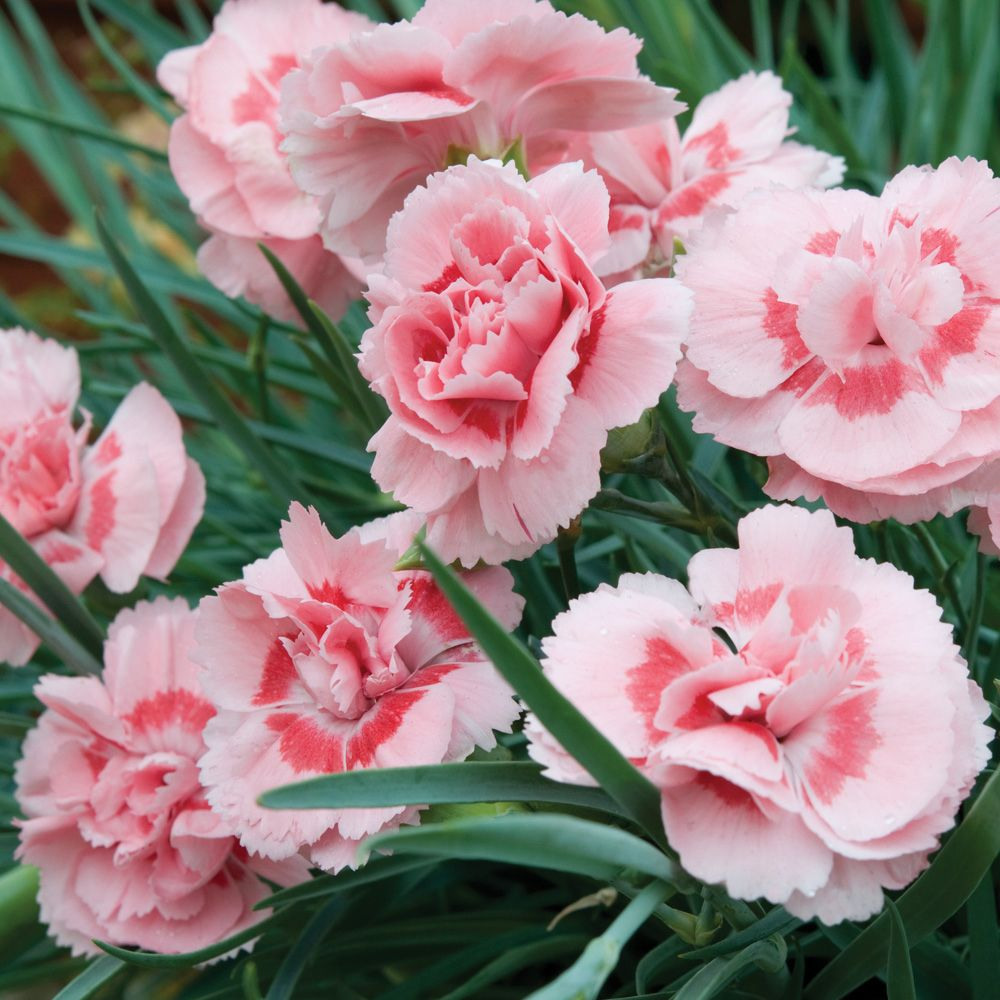 Dianthus doriscarnationpink karafity pinterest perennials dianthus doris perennial biennial plants thompson morgan full sun 10 tall wide mightylinksfo