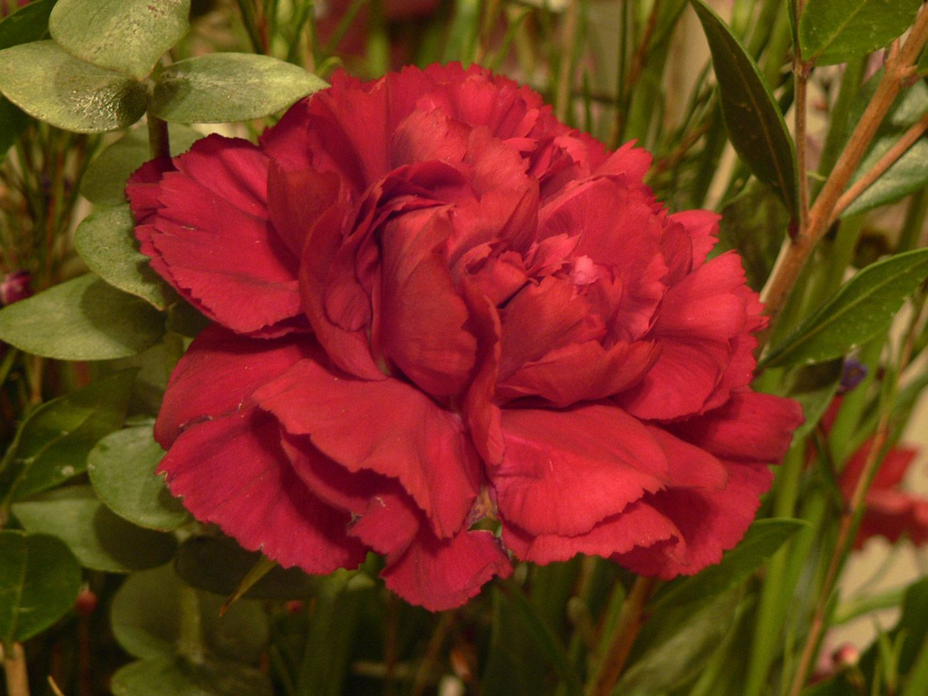 State Flower Of Ohio Red Carnation Types Of Flowers Flower Names Different Types Of Flowers