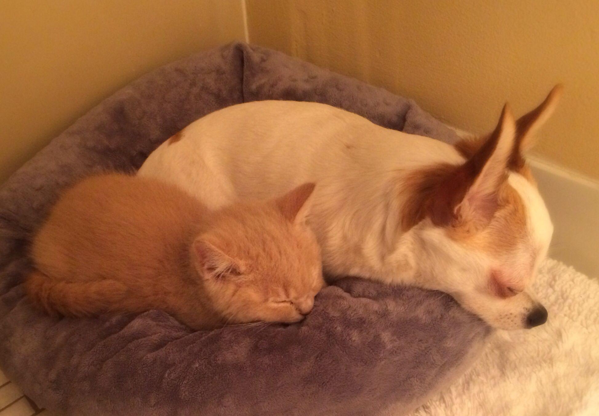 Scottish Fold Kitten and Chihuahua  | love Animals | Animals