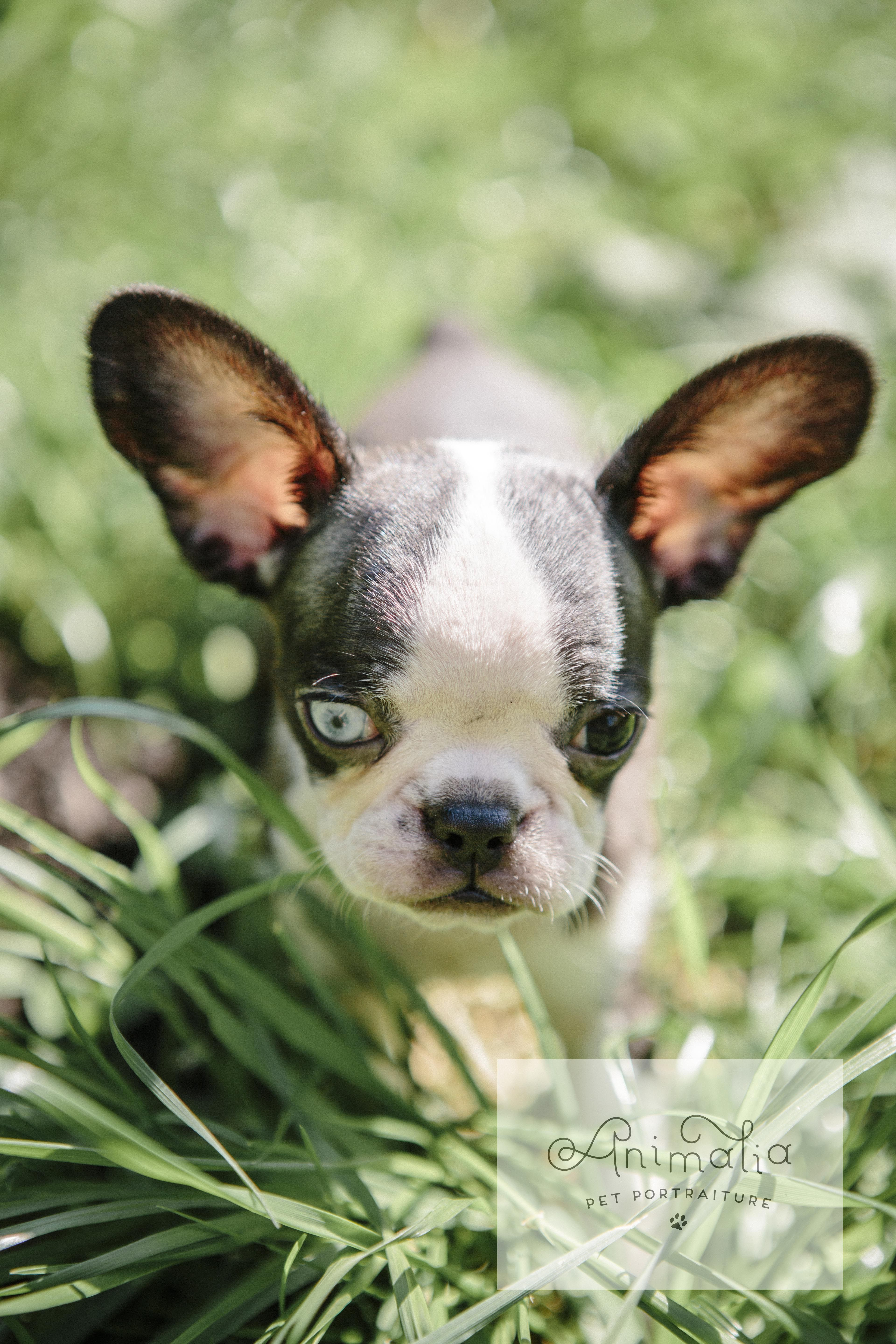 Micro Royal Frenchel puppy Parker