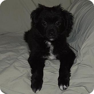 Pomeranian Cavalier King Charles Spaniel Mix Puppy For Adoption In