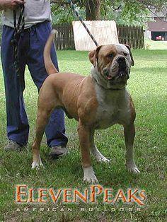 Biggest American Bulldog Bread 150lbs Beautiful American Bulldog American Bulldog Puppies Bulldog Breeds