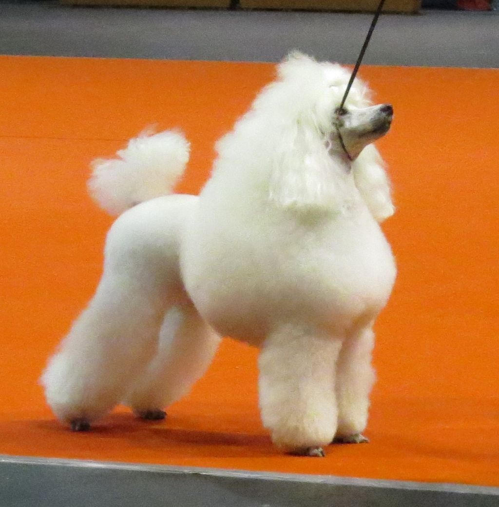 Toy Poodle In Riga 3
