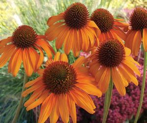Echinacea (Tiki Torch Coneflower)  Beautiful pumpkin orange that adds a bit of spice to the perennial border throughout the summer.
