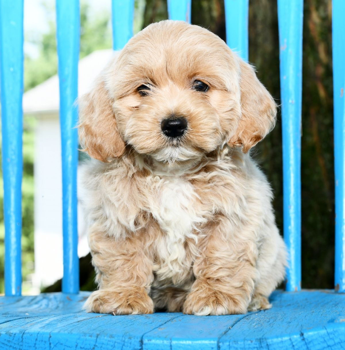 Smart Cockapoo Cockapoo Puppies Lancaster Puppies Cockapoo Puppies For Sale